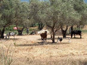 Roda Corfu / Korfoe